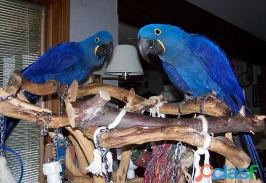 Pair of Beautiful Hyacinth macaw ..(323) 621-5941
