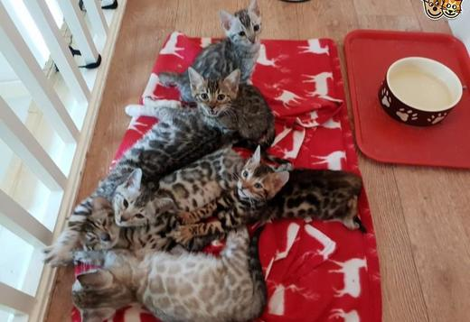 Bengal Looking for only devoted pet bengal kittens is availeble