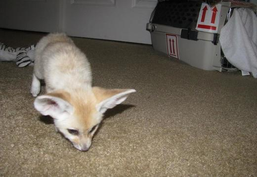 Male and female fennec fox kit