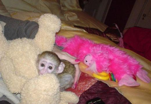 Cute Little Female and Male Capuchin text (419) 777-4855
