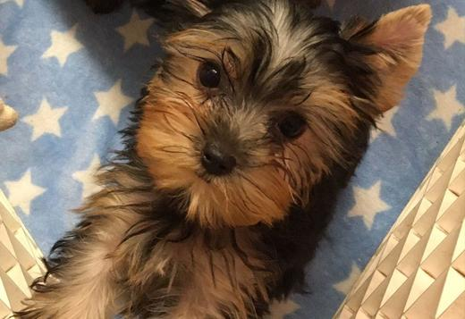 Yorkshire Terrier Amazing Yorkie Puppies