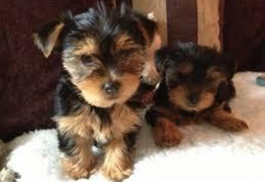 Yorkshire Terrier Cute and well trained Yorkie puppies