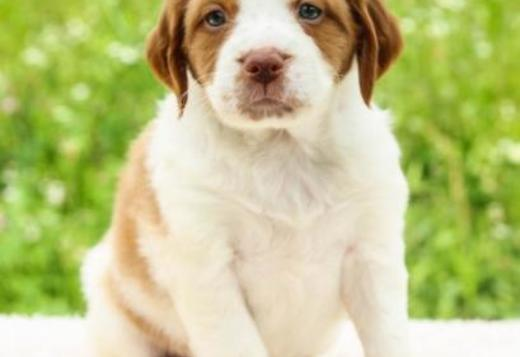 Brittany Brittany  Spanial Puppies for sale