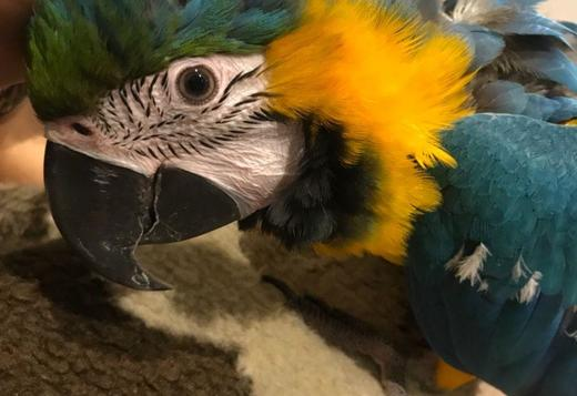 6 Month Old Baby Macaw (403) 907-3128