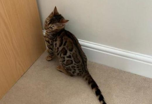 Active Reg Bengal Male 6 Months Old