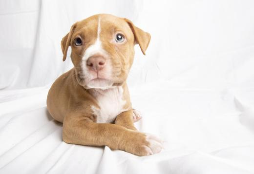 American Pit Bull Terrier Red Nose Pitbull Puppies