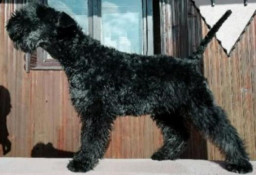 Kerry Blue Terrier Kerry blue terrier puppies