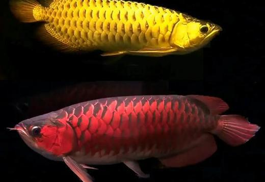 24k Golden Arowana for sale  (707) 314-0917