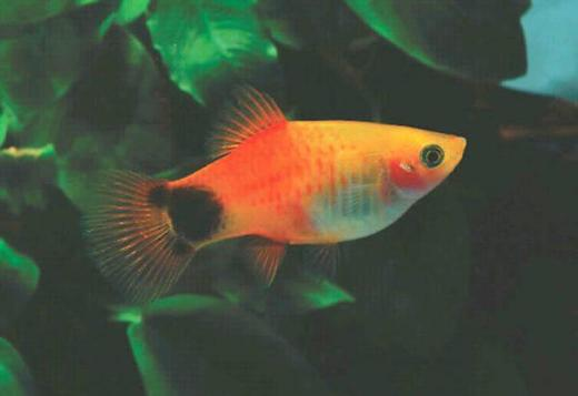 buy guppy,tetra,molly,platy,shrimps,oscar,FishTanks,goldfish,angelfish