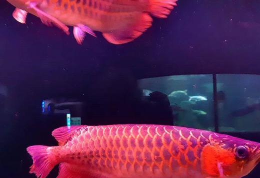 Grad A Super Red and Gold Color Arowana fishes