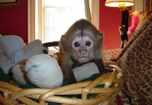 Adorable Little Capuchin Monkey For Adoption Text (615)-434-5836