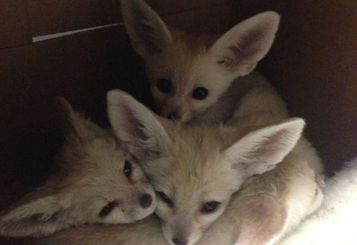 pet adorable Fennec foxes ready for their new home text (615)-434-5836