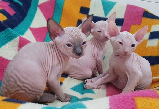 Sphynx Beautiful Sphynx Babies