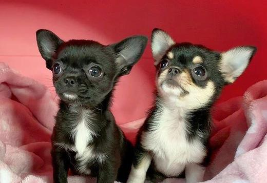 Chihuahua Tiny Chihuahua puppies available and ready . Message