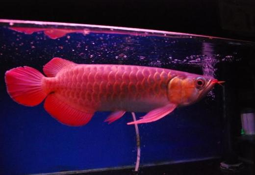 Arowana fishes of all kinds