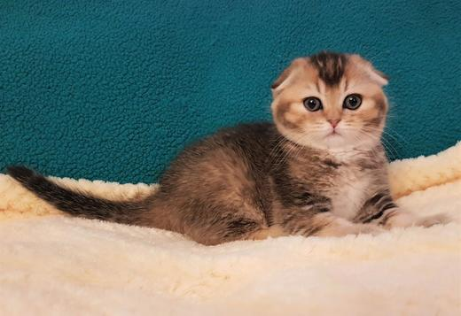 Scottish Fold Purebred Scottish Fold Female Kittens