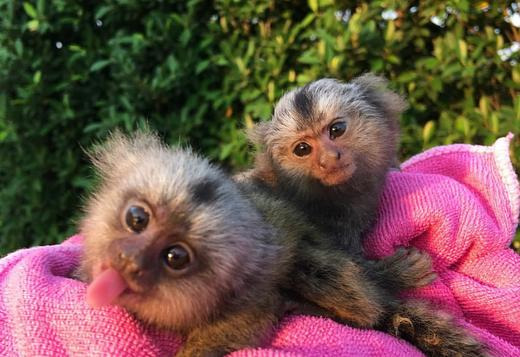 Pair marmoset available