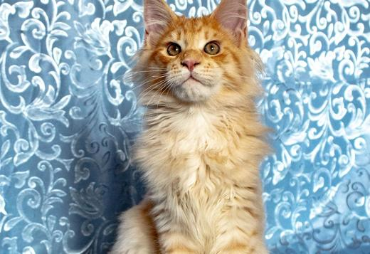 Maine Coon Maine Coon kittens from cattery