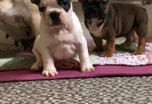 French Bulldog Pure Bred Full Pedigree French bulldog puppies Pups