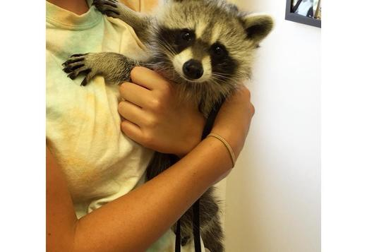 Available Raccoons pups all ready and very friendly