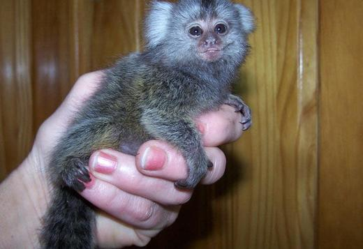 Marmoset monkey for adoption Text (708) 928-5512