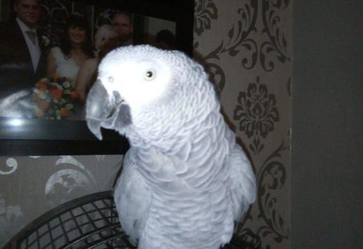 Hand Reared Baby African Greys