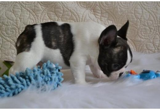 French Bulldog French Bulldogs puppies.