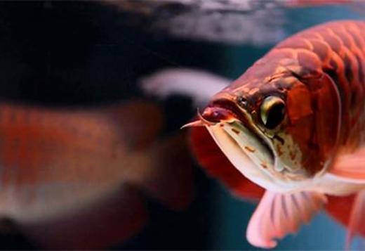Supply Quality Arowana Fishes Of All Breed And Sizes