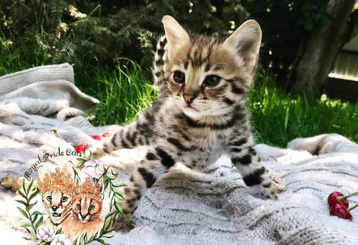 Amazing Savannah F1 kittens for sale