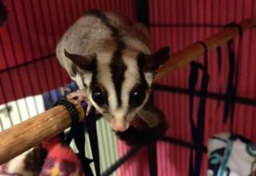 Cute Sugar Gliders Babies for Adoption text ‪(601) 675-2405‬