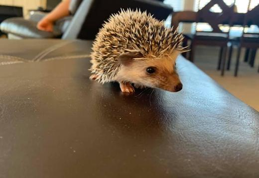 Hedgehogs for sale!