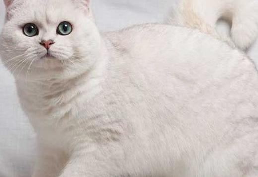 British Shorthair Pure Breed British Shorthair kittens for sale