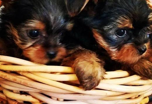 Yorkshire Terrier LOVELY YORKIE PUPPIES