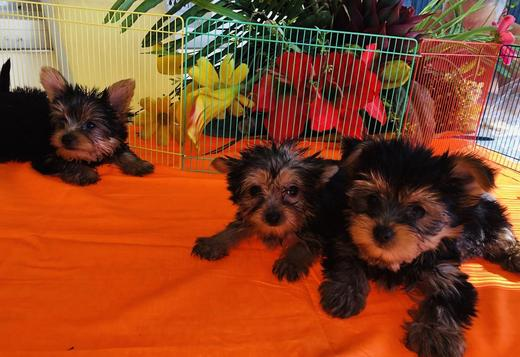Yorkie puppies located near Chicago