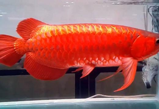 Super Red Arowana fish and Many others for sale