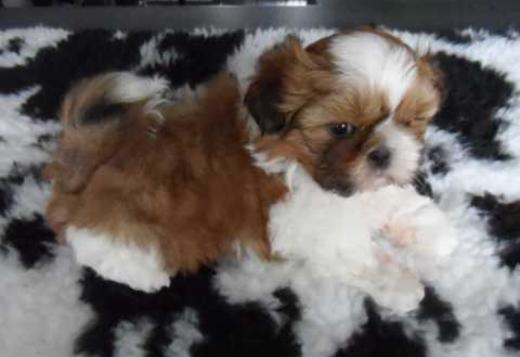 Shih Tzu Stunning Shih Tzu Puppy Available For Sale