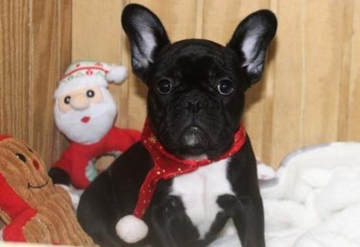 French Bulldog Akc Healthy French Bulldog Puppies