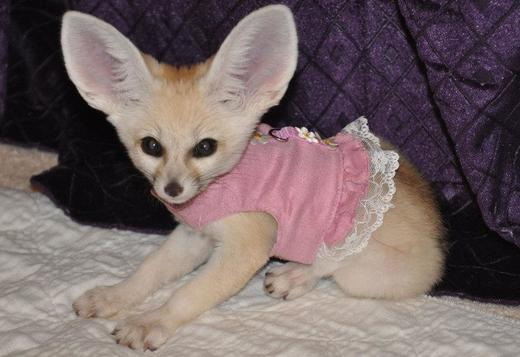 Licensed Fennec Fox Babies For Sale
