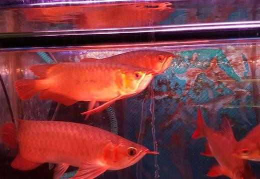 Magnificent arowana fishes at very good prices