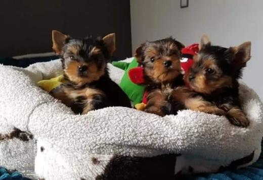 Yorkshire Terrier Purebred Yorkie Available