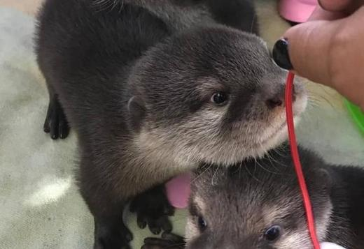 Bueatiful asian otters clawed babies healthy ready for a new