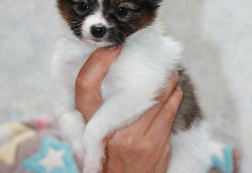 Papillon Papillon Puppies For Sale