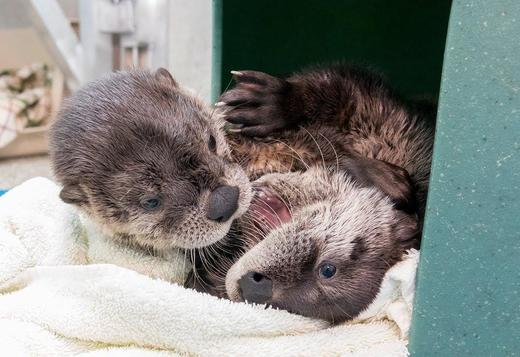 Potty trained male and female Asian clawed small otters available