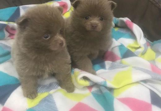 Pomeranian Priceless Pomeranian Puppy For Adoption
