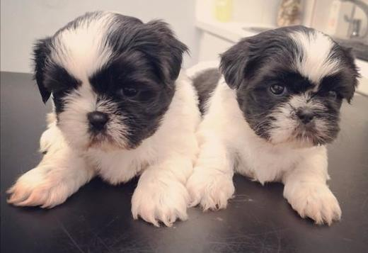 Shih Tzu Xmas Shih Tzu 1boy and 1 girlavailable for rehoming fee