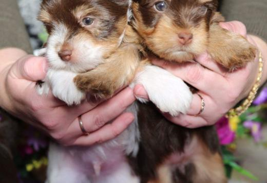 Yorkshire Terrier YORKIE PUPPY 1 BOY AND 1 GIRL AVAILABLE FOR REHOMING