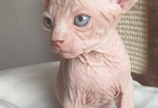 Sphynx SPHYNX HAIRLESS KITTY'S