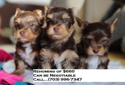 Yorkshire Terrier Tiny Miniture Yorkshire Terrier Puppies Male and female for sale