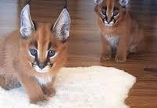 Caracal, Serval, Ocelot and Bengal kittens available for new homes.