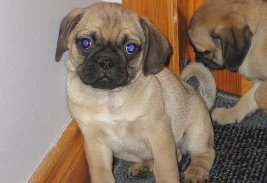 Pug Beautiful chunky pug pups for sale